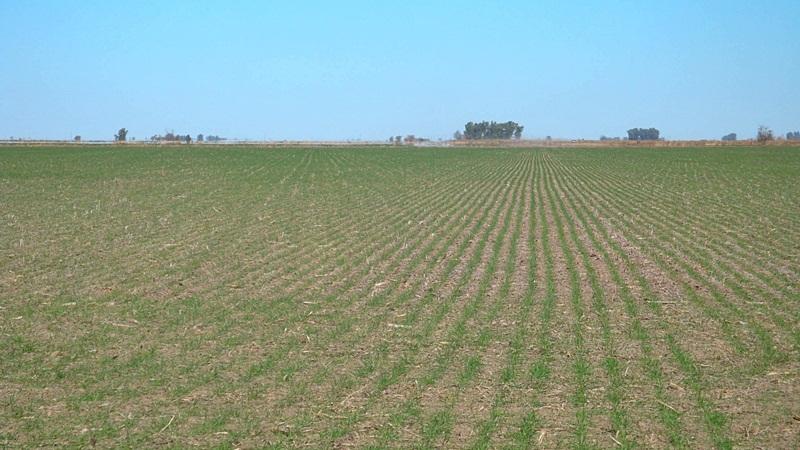 desfasaje rural foto campo trigo