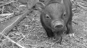 Capacitación sobre alimentación y sanidad en cerdos