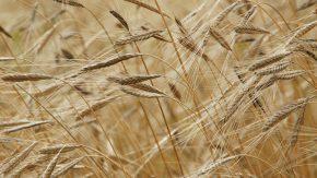 El problema del uso continuo de glifosato en la agricultura