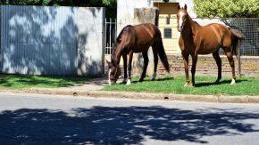 Decomisarán  a caballos sueltos