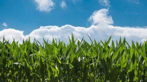Estudian el mejor tratamiento contra hongos del maíz