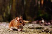 Hantavirus: aseguran que los roedores urbanos no son transmisores del virus